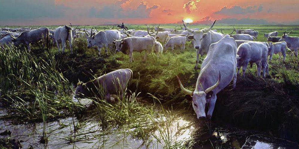 Hungarian  Gray Cattles